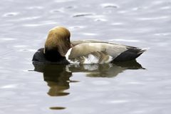 Red-crested pochard / Netta rufina - large diving duck stock images