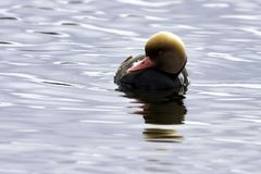 Red-crested pochard / Netta rufina - large diving duck royalty free stock photo