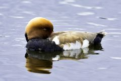 Red-crested pochard / Netta rufina - large diving duck in London, UK royalty free stock image