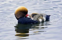 Red-crested pochard / Netta rufina - large diving duck in London, UK royalty free stock photography
