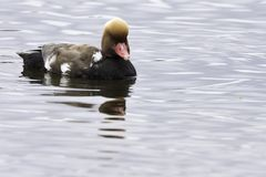 Red-crested pochard / Netta rufina - large diving duck stock photo