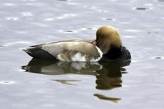 Red-crested pochard / Netta rufina - large diving duck Stock Photos