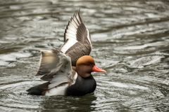 The red-crested pochard Netta rufina male duck swimming on the lake and streatching wings, outstretched wings, clear background. Scene from wildlife royalty free stock image