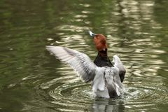The red-crested pochard Netta rufina male duck swimming on the lake and streatching wings, outstretched wings, clear background. Scene from wildlife royalty free stock photos