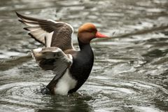 The red-crested pochard Netta rufina male duck swimming on the lake and streatching wings, outstretched wings, clear background. Scene from wildlife stock photos