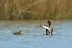 Red Crested pochard (Netta Rufina) Royalty Free Stock Images