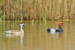 Red Crested pochard (Netta Rufina) Royalty Free Stock Photography