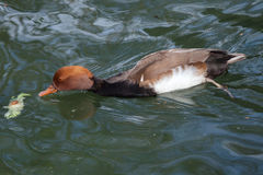 Red-crested pochard Netta rufina. Royalty Free Stock Images