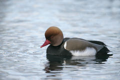 Red-crested pochard, Netta rufina Royalty Free Stock Photo