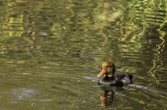 Red-crested pochard - netta rufina stock photography