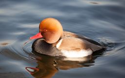 Red-crested Pochard or Netta rufina. Netta rufina or Red-crested Pochard. Unlike other diving ducks, the Netta species are reluctant to dive. They are strong Royalty Free Stock Image