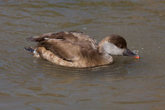 Red-crested pochard (Netta rufina). Stock Photo