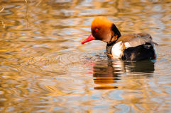 Red crested pochard sunset Royalty Free Stock Photography