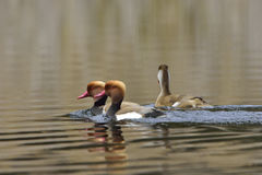 Red-crested pochard Royalty Free Stock Images