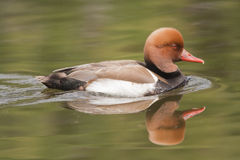 Red-crested Pochard Royalty Free Stock Image