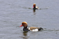 Red-crested Pochard Royalty Free Stock Photos