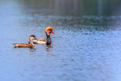 Red-crested Pochards,migratory, bird, Diving duck Royalty Free Stock Photography