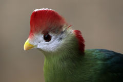 Red-Crested Touraco Royalty Free Stock Photo