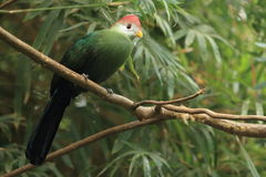 Red-crested turaco. The red-crested turaco sitting on the branch Royalty Free Stock Photography