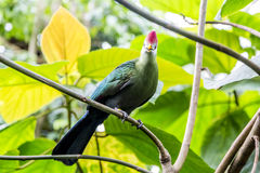 Red-crested turaco Royalty Free Stock Photo
