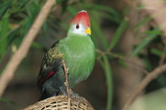 Red-crested turaco. Standing on the wicker basket stock image