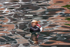 Red-crested turkish (pochard) Stock Photo