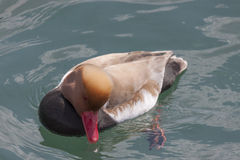 Red-crested turkish (pochard) Royalty Free Stock Photo
