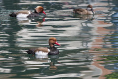 Red-crested turkish (pochard) Stock Image