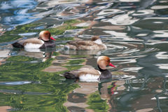 Red-crested turkish (pochard) Royalty Free Stock Photos