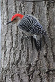 Red Crested Wren Royalty Free Stock Photography