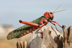 Red Cricket Stock Photography
