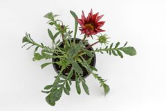 Red crimson Gazania flower with green leaves and flower buds isolated on white background for sale, decorations or gift. Floral pa. Ttern. Flowers background Stock Photo