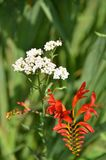 Red Crocosmia bloom with white Yarrow wildflower. Crocosmia crocosmiiflora Lucifer. Blooms in summer with brilliant, hummingbird-attracting scarlet-red flowers Stock Photos