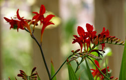 Red crocosmia lucifer Royalty Free Stock Image
