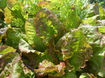 Red Cross Lettuce in garden Royalty Free Stock Images