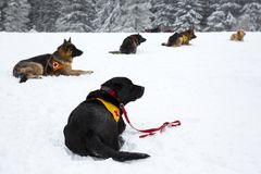 Red Cross rescue dogs. Rescue dogs from Mountain rescue service at Red Cross organization participate in a training for finding people buried in an avalanche Royalty Free Stock Photo