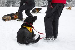 Red Cross rescue dogs. Rescue dogs from Mountain rescue service at Red Cross organization participate in a training for finding people buried in an avalanche Stock Photos
