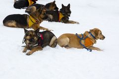 Red Cross rescue dogs. Rescue dogs from Mountain rescue service at Red Cross organization participate in a training for finding people buried in an avalanche Royalty Free Stock Images