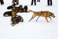Red Cross rescue dogs. Rescue dogs from Mountain rescue service at Red Cross organization participate in a training for finding people buried in an avalanche Stock Photography