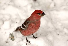 Red Crossbill. On snow covered ground Saskatchewan Canada Royalty Free Stock Photography