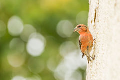 Red Crossbill. On the wall in schloss mohren germany Stock Photos