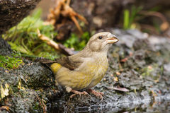 Red Crossbill. Drinking water close-up Stock Photography