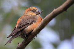 Red crossbill. The adult red crossbill sitting on the branch Stock Image