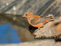 Red Crossbill drinking Water, Oregon, US Stock Images