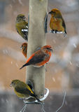 Red Crossbill On Feeder Royalty Free Stock Images