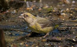 Red Crossbill female sits on the ground near a water pond royalty free stock photo