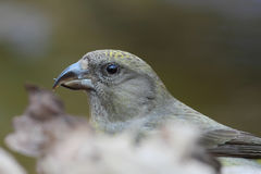 Red Crossbill. Loxia curvirostra. Stock Photo