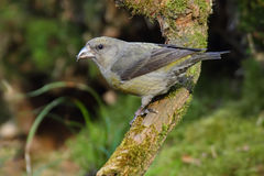 Red Crossbill. Loxia curvirostra. Stock Image