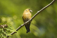 Red Crossbill (Loxia curvirostra) Stock Photography