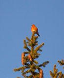 Red crossbill. The red crossbill (Loxia curvirostra) male Royalty Free Stock Photos